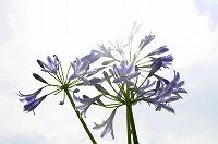 2926521アガパンサスの花 by yoppy218.jpg